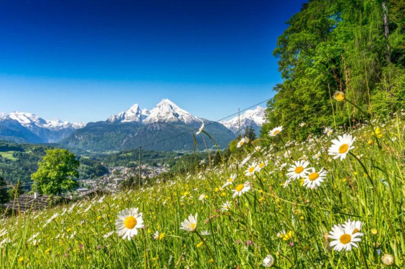 Gänseblümchen auf einer Wiese mit Alpenpanorama im Hintergrund